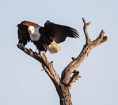 African Fish Eagle Art Print by Craig Brown