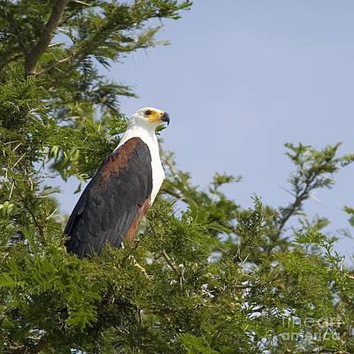 Eagle Photograph - African Fish Eagle Haliaeetus Vocifer by Liz Leyden