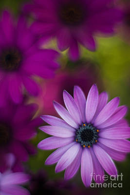 Painterly Photograph - African Gerbera Standout by Mike Reid