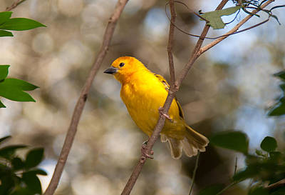 Photograph - African Golden Weaver by John Black