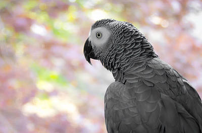 Photograph - African Grey 3 by Paulina Szajek