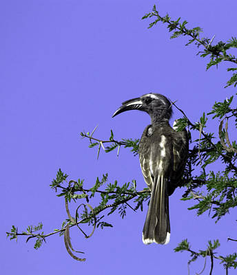 African Grey Hornbill Original by Andrew Oliver