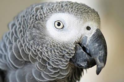African Grey Parrot Face Close-up Print by Matt Freedman