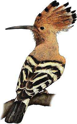 Photograph - African Hoopoe by Roger Hall