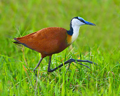 Photograph - African Jacana by Tony Beck