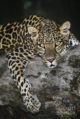 Photograph - African Leopard On Log Endangered Species by Dave Welling
