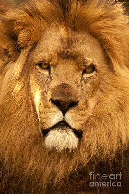 Photograph - African Lion 01 by Rick Piper Photography