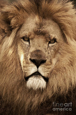 Photograph - African Lion 02 by Rick Piper Photography
