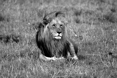 Of Black Cats Photograph - African Lion by Aidan Moran