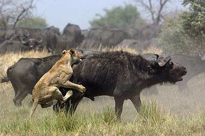 African Lion Attacking Cape Buffalo Print by Pete Oxford