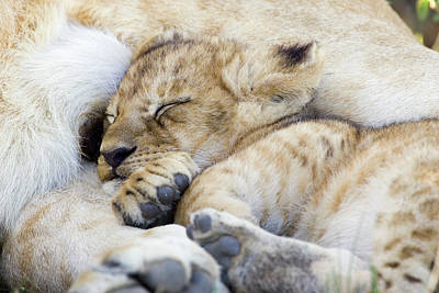 African Lion Cub Sleeping Art Print by Suzi Eszterhas