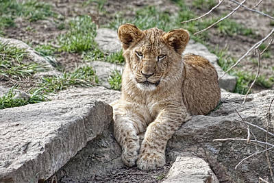 Of Felines Photograph - African Lion Cub by Tom Mc Nemar