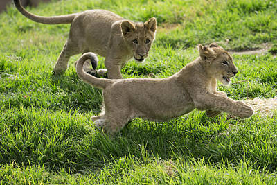 Leo Photograph - African Lion Cubs Playing by San Diego Zoo
