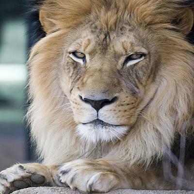 Photograph - African Lion by Juli Scalzi
