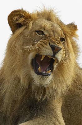 African Lion Male Growling Art Print