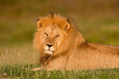 Lion Face Photograph - African Lion Panthera Leo, Ndutu by Panoramic Images