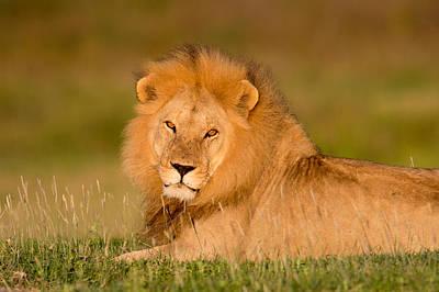 Looking At Camera Photograph - African Lion Panthera Leo, Ndutu by Panoramic Images