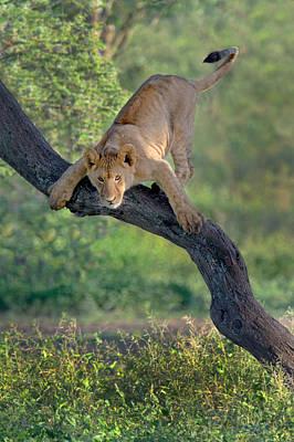 African Lion Panthera Leo On Tree Art Print