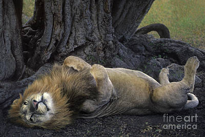 Art Print featuring the photograph African Lion Panthera Leo Wild Kenya by Dave Welling