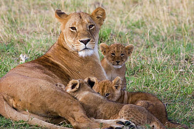 Lion Photograph - African Lioness And Young Cubs by Suzi Eszterhas
