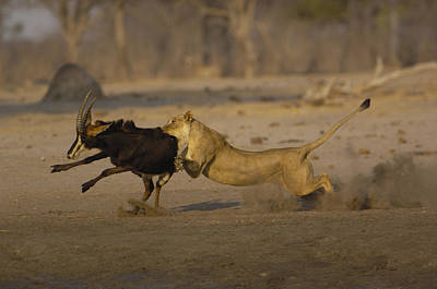 African Lioness Attacking Sable Print by Pete Oxford