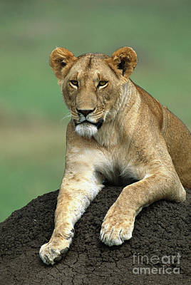 Photograph - African Lioness Masai Mara by Yva Momatiuk and John Eastcott
