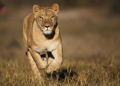 Front View Photograph - African Lioness Sirga Running Kalahari by Theo Allofs