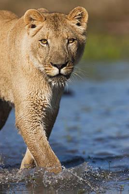 Felidae Photograph - African Lioness Sirga Wading Kalahari by Theo Allofs