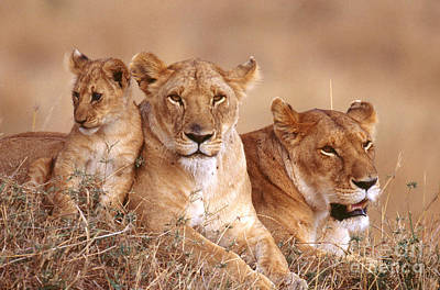 Photograph - African Lionesses With Cub by Mary Beth Angelo
