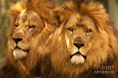 Photograph - African Lions 01 by Rick Piper Photography