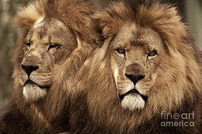 Photograph - African Lions 02 by Rick Piper Photography