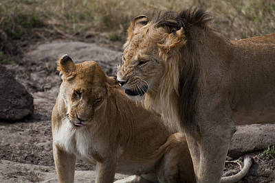Observer Photograph - African Lions In Kenya by Enrico Mariotti