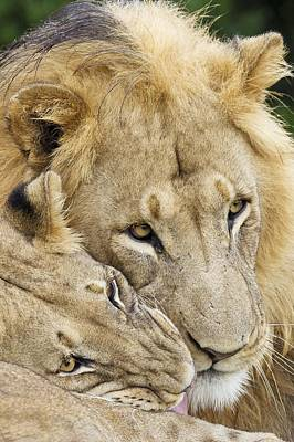 African Lions Art Print by Science Photo Library