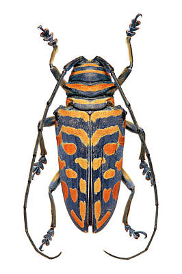 Longhorn Photograph - African Longhorn Beetle by Natural History Museum, London