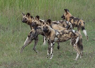 Photograph - African Painted Hunting Dogs by Bruce W Krucke