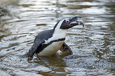 Penguins Photograph - African Penguin Eating Fish by George Atsametakis