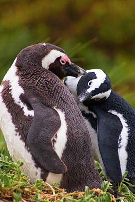 African Penguins Preening. Print by Mark Williamson