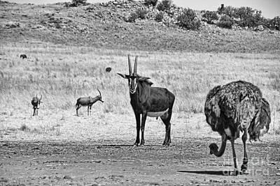 Ostrich Photograph - African Plains by Douglas Barnard