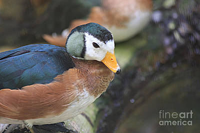 Photograph - African Pygmy Goose by Jerry Bunger