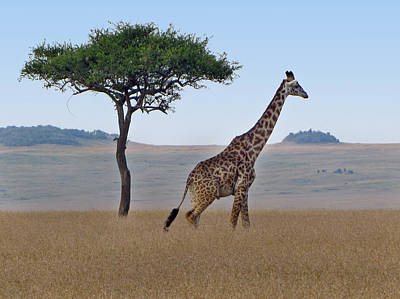 Photograph - African Safari Giraffes 2 by Jeff Brunton
