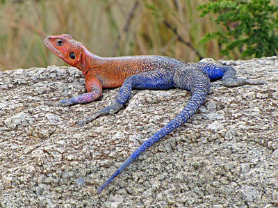 Photograph - African Safari Lizard by Jeff Brunton