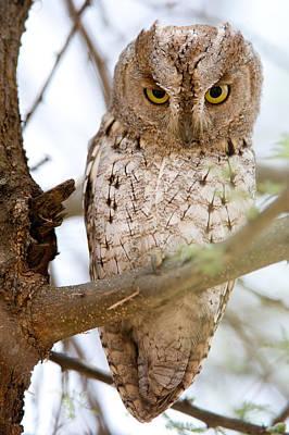 African Scops Owl Otus Senegalensis Art Print