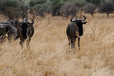 Photograph - African Series Widerbeest by Katherine Green