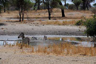 Photograph - African Series Zebras And Pelican by Katherine Green