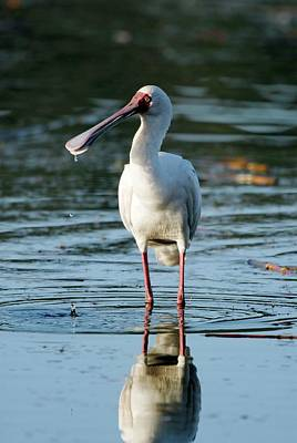 Spoonbill Wall Art - Photograph - African Spoonbill by Peter Chadwick/science Photo Library