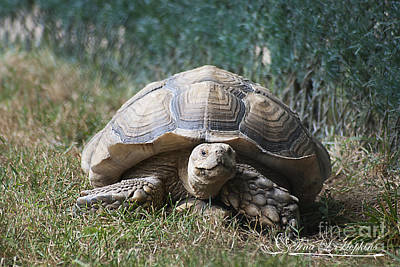 Photograph - African Spurred Tortoise 20120714_69a by Tina Hopkins
