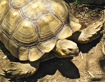 African Spurred Tortoise Art Print by CML Brown