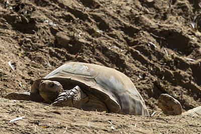 Photograph - African Spurred Tortoise by Mark Newman