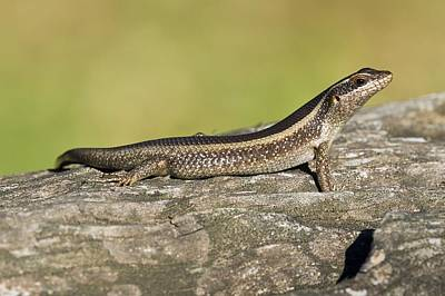 African Striped Skink On A Rock Art Print by Science Photo Library