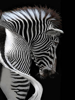 Animals Photos - african stripes II by Joachim G Pinkawa